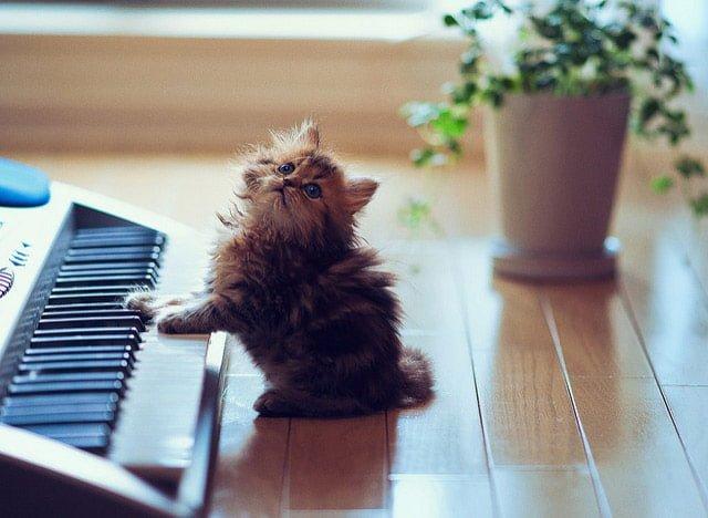 ピアノを引く猫の画像