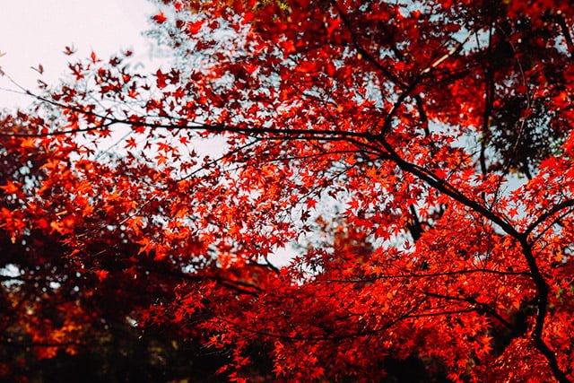 新宿御苑の紅葉 - カエデ